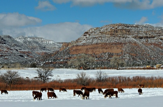 Cows on snow ground